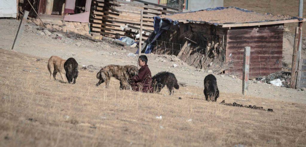little lama feeding dogs